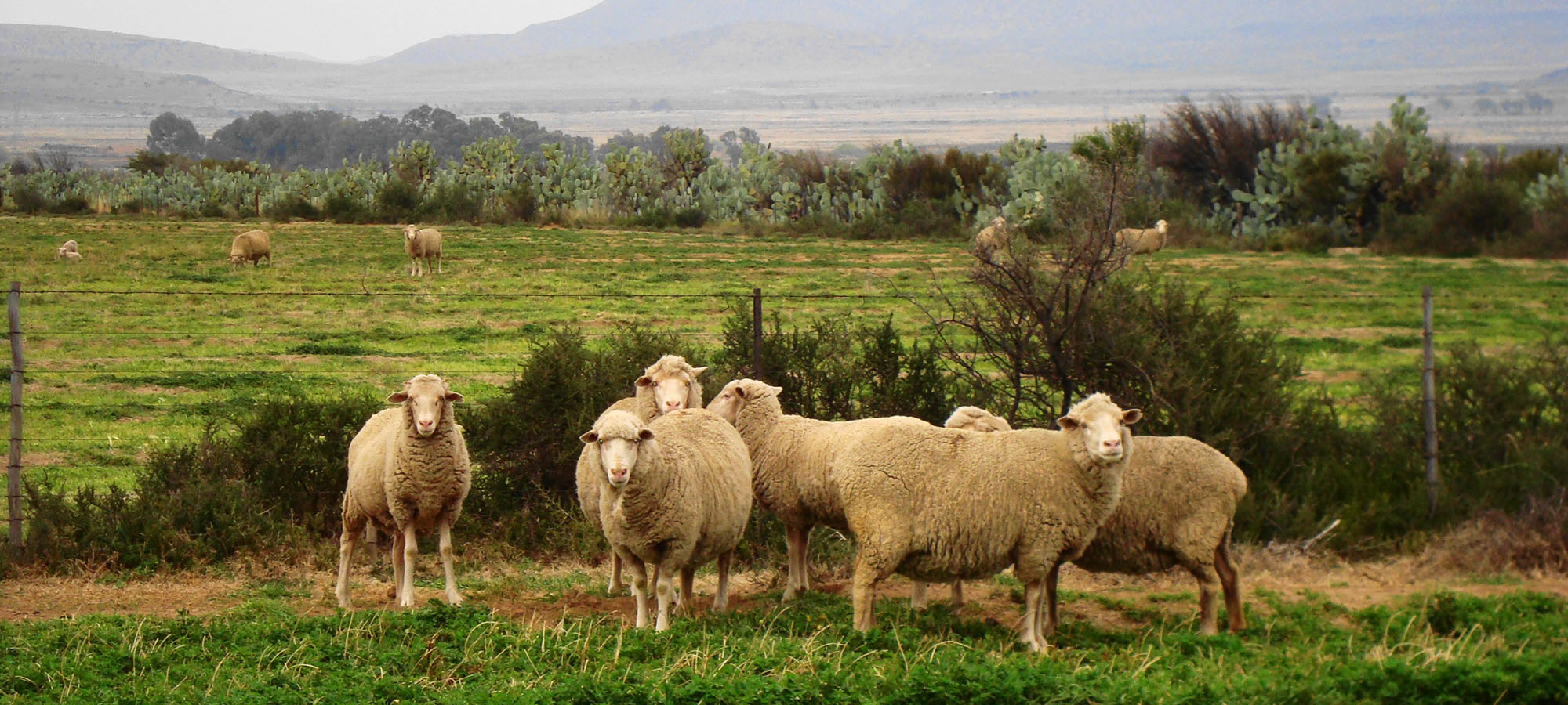 SHEEP GRAZING ON PLANTED PASTURES SLIDE